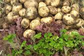 真っ赤なサラダ、緑のパセリと若いジャガイモをクローズ アップ — ストック写真