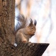 Brown squirrel sits on a tree — Stock Photo