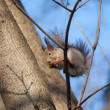 Brown squirrel sits on a tree and eats — Stock Photo #41736363
