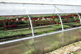 Ornamental flowers grows in greenhouse nursery plants — Stock Photo