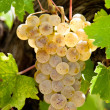 Riesling grapes — Stock Photo
