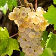 Stock Photo: Riesling grapes