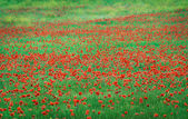 Red flowers and green grass — Stock Photo