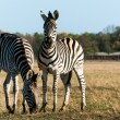 African savanna with zebra — Stock Photo