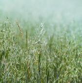 Oat grains on the field — Stock Photo