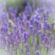 Lavender closeup — Stock Photo