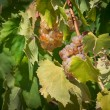 White grapes on the vineyard. — Stock Photo