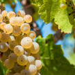 White grapes on the vineyard — Stock Photo