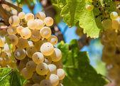 White grapes on the vineyard — Stock Photo