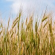 Wheat field - agricultural landscape — Stock Photo