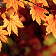 Autumnal maple leaves, fall scene — Stock Photo #13532173