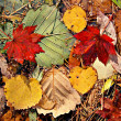 Stock Photo: Autumnal colored leaves, maple leaf litter
