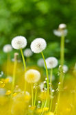 Dandelions, summer flowers — Stock Photo