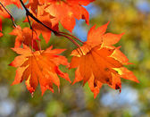 Red maple leaves, golden autumn — Stock Photo