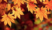 Autumnal maple leaves, fall scene — Stock Photo