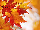 Autumnal maple leaves in blurred background — Stock Photo