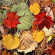 Autumnal colored leaves, maple leaf litter — Stock Photo #13618595