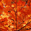 Golden autumn, red maple — Stock Photo #13618598