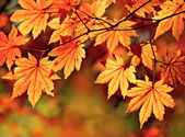 Golden autumn, red maple — Stock Photo