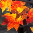 Autumnal maples — Stock Photo