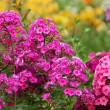 Flowers phlox, summer meadow — Stock Photo #14143740