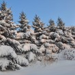 Row of snowbound firs - Foto Stock