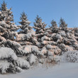 Row of snowbound firs - Stock Photo