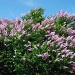 Lilc flowers — Stock Photo #14144127
