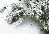 Snowbound branch of fir 3 — Stock Photo