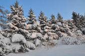 Rij van snowbound sparren — Stockfoto