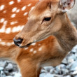 Dappled deer — 图库照片