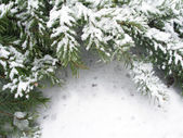 Branch of fir tree in snow — Stock Photo