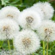 Dandelions — Stock Photo #20103215