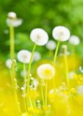 Dandelions, summer flowers — Stock Photo