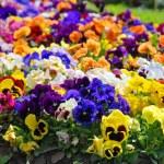 Heartsease, flower garden - close-up — Stock Photo #24625951