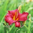 Lily summer red flower — Stock Photo