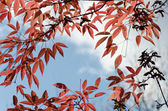 Autumnal leaves, red foliage against blue sky — Stock Photo