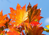 Autumnal leaf, red and yellow maple — Stock Photo