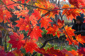 Autumnal leaves, red maple foliage — Stock Photo