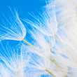 Dandelion close-up — Stock Photo