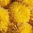 Chrysanthemums close-up - Stock Photo