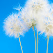 Dandelions — Stock Photo #21072363