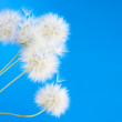 Dandelions — Stock Photo #21702017