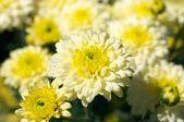 Cama de flor crisântemo — Foto Stock