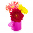 Gerberas in watering can — Stock Photo
