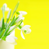 Bunch of snowdrops — Stock Photo
