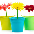 Gerberas in buckets — Stock Photo #22892796