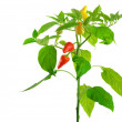 Pepper plant - Stock Photo