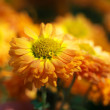 Chrysanthemum flower bed - Stock Photo