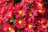 Chrysanthemum flower bed — Stock Photo